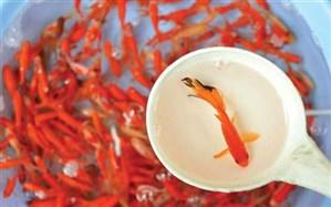 ۱۲ اشتباه مرگبار در نگهداری از ماهی قرمز عید