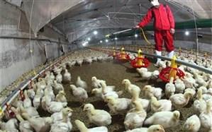 مدیرعامل شرکت پشتیبانی امور دام: آنفلوآنزای حاد پرندگان مهار شد