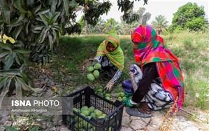 تصاویر/ گشتی در باغهای انبه در جنوب ایران