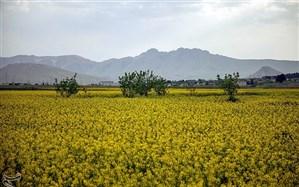 برپایی ۴۸ مرکز خرید کلزا  در استان گلستان